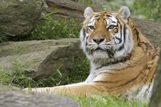 Free Tiger Stock Photography - 25540452