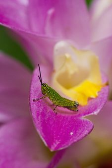 Free Grasshoper On Siam Tulip Stock Photography - 25541442