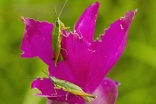 Free Grasshoper On Siam Tulip Stock Photography - 25542332