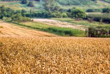 Free Wheat Field Royalty Free Stock Images - 25546099