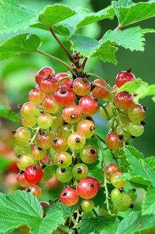 Free Red Currant Bush Royalty Free Stock Images - 25547909