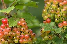 Free Red Currant Bush Stock Image - 25547931