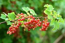 Free Red Currant Bush Stock Photo - 25547970
