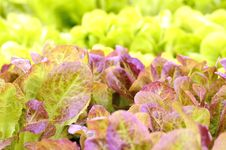 Red Little Baby Lettuce Stock Photo