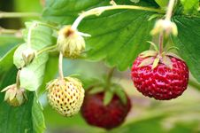 Free Bush Of Strawberry Stock Photography - 25548392