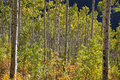 Free Aspen Trees Changing Colors Stock Photography - 25554872