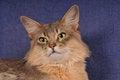 Free Closeup Blue Somali Cat Portrait Royalty Free Stock Photos - 25558858