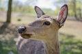 Free Red Deer Royalty Free Stock Photo - 25559725