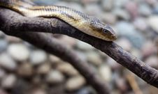 Free Dangerous Snake Stock Images - 25551404