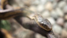 Free Dangerous Snake On Hte Branch Stock Image - 25551411