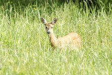 Free Deer Royalty Free Stock Photography - 25551447