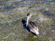 Free Brown Pelican Stock Image - 25553721
