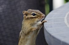 Free Chipmunk Stock Image - 25554921