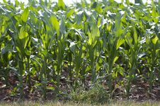 Free Corn Field Stock Photo - 25555400