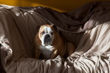 Free Sleepy Bulldog Stock Photography - 25555452
