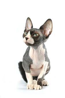 Free Cute Sphynx Portrait On White Background Royalty Free Stock Photos - 25558778