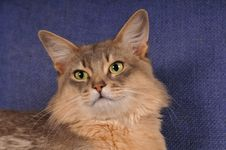 Free Closeup Blue Somali Cat Portrait Royalty Free Stock Photos - 25558858