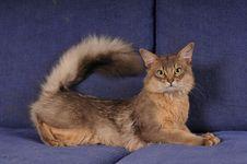 Blue Somali Male Cat Portrait Stock Photography