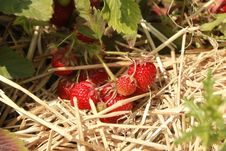 Free Fresh Red Organic Strawberries Stock Images - 25560104