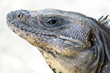 Free Iguana On The Beach Stock Images - 25564814