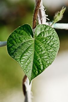 Free Green Heart Leaf Stock Photo - 25566650
