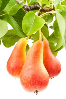 Free Three Pears Royalty Free Stock Photography - 25567577
