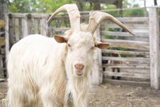 Free Billy Goat Royalty Free Stock Photos - 25568158