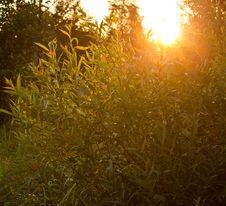 Free Sun Light Through Trees Royalty Free Stock Photo - 25568465