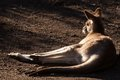 Free Lazy Grey Kangaroo Stock Image - 25574851