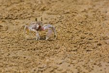 Free Ocypode Ceratophthalama Stock Photography - 25571142