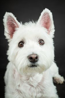 Free White Westhighland Westie Terrier Royalty Free Stock Photo - 25571625