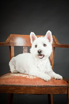 Free White Westhighland Westie Terrier Royalty Free Stock Photography - 25571667