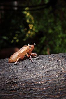 Free Exoskeleton Of A Cicada - Pomponia Imperatoria Stock Images - 25576634