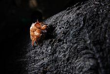 Free Exoskeleton Of A Cicada - Pomponia Imperatoria Royalty Free Stock Photos - 25576658
