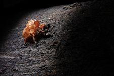 Free Exoskeleton Of A Cicada - Pomponia Imperatoria Royalty Free Stock Photos - 25576668