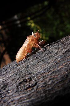 Free Exoskeleton Of A Cicada - Pomponia Imperatoria Royalty Free Stock Photo - 25576675