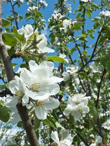 Free Blooming Apple Tree Stock Photo - 25576820