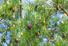 Free Pine Branch Stock Photography - 25579442