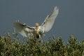 Free Cattle Egret &x28;Bubulcus Ibis&x29; Stock Photo - 25580080