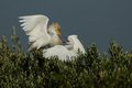 Free Fighting Cattle Egret Stock Photos - 25580113