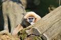 Free Lar Gibbon Stock Image - 25581101