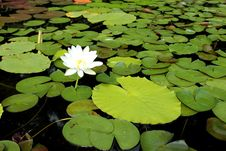 Free Lotus Flower And Leaf Stock Photos - 25583073
