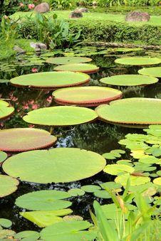 Free Victoria Lotus Leaf Royalty Free Stock Photos - 25583158