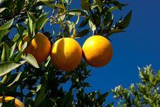 Free Organic Oranges Stock Photography - 25592862
