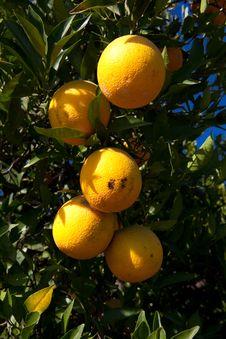 Free Organic Oranges Stock Photography - 25592872