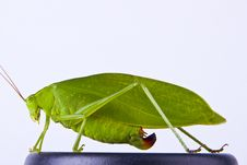 Free Grasshopper Stock Photography - 25593142