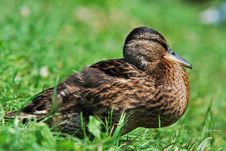 Free Wild Duck Stock Photos - 25593743