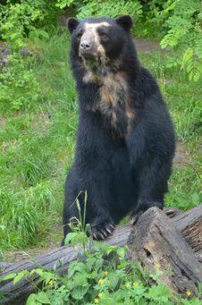 Free Black Bear Royalty Free Stock Photo - 25595345
