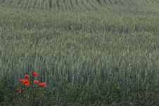 Free Red Poppies Over Wheat Background Stock Photography - 25595982