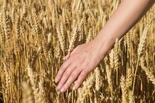 Free Women S Hand In A Wheat Field Royalty Free Stock Image - 25597196